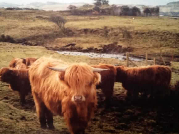 The ubiquitous hairy coos
